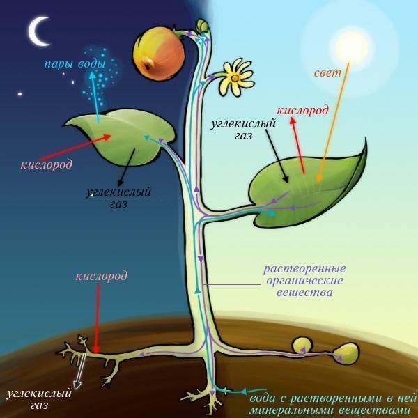 Фотосинтез световая и темновая фазы таблица
