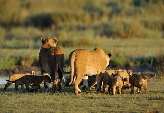 Как спариваются львы