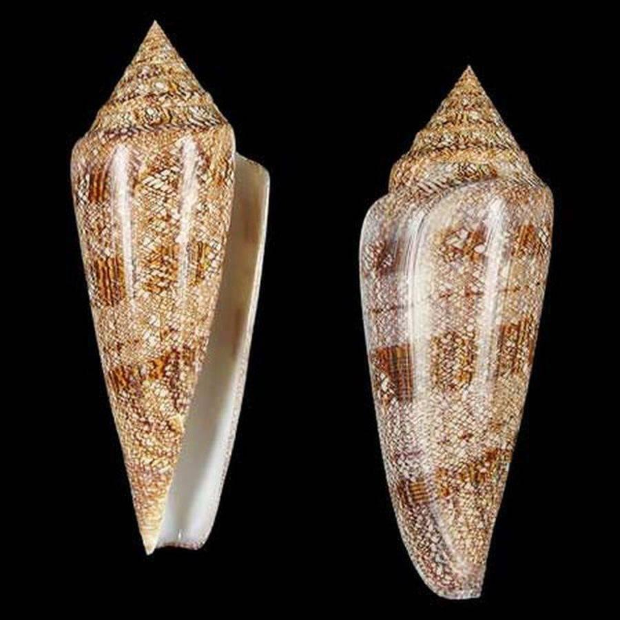 Моллюски хищники