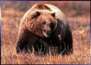 Поведение бурого медведя