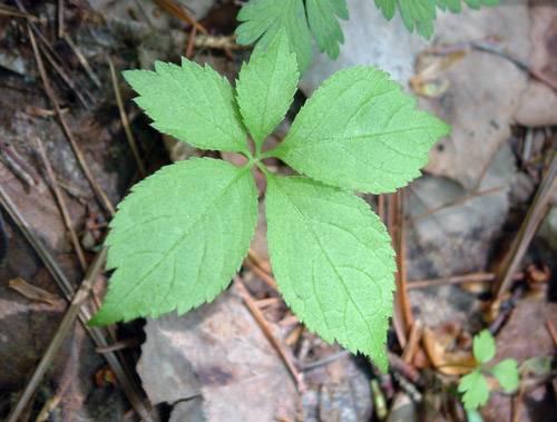 Женьшень растение красной книги