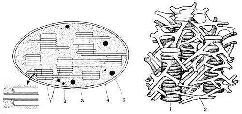 Цитоплазма и клеточная мембрана