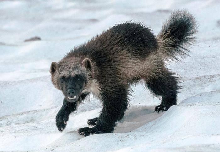 Основная пища животных арктики