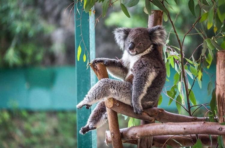 Где обитает коала материк