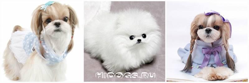 Белая кудрявая собака порода