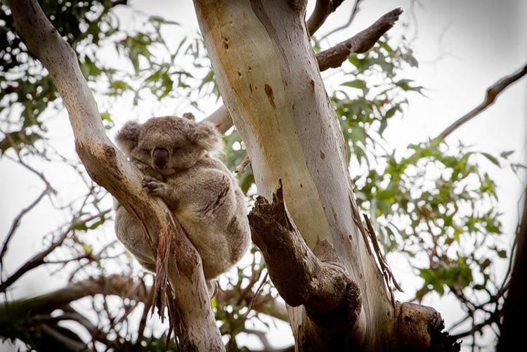 Детеныш коалы