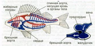 Хрящевые рыбы признаки