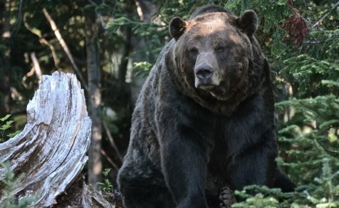 Максимальный вес белого медведя