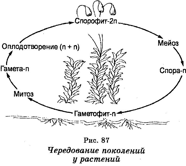 Чередование поколений у растений