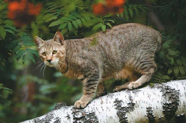Как называется кошка похожая на рысь