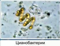 Представители царства бактерий примеры 5 класс