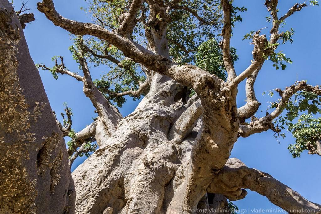 Листья баобаба