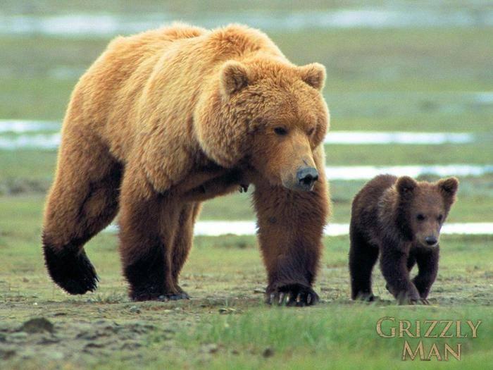 С какой скоростью бежит медведь