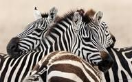 Зебра животное