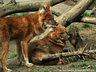 Чем питается красный волк