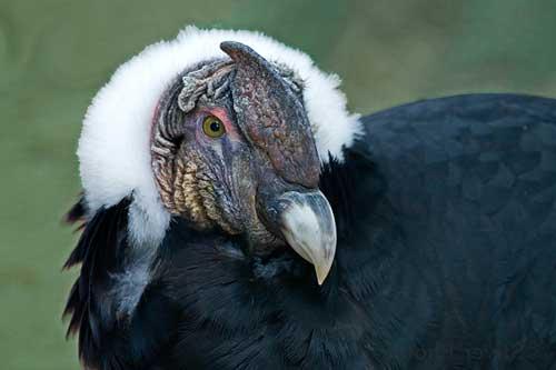 Самая большая хищная птица в мире