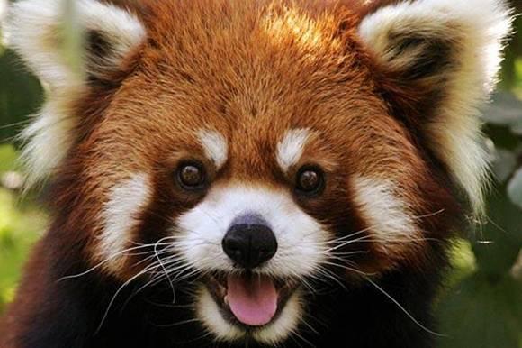 Что кушает панда