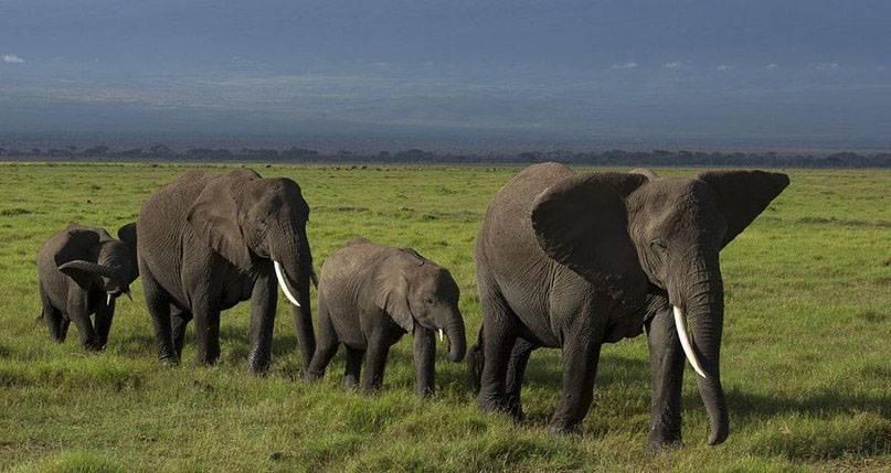Вымершие слоны