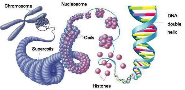 Свойства хромосом