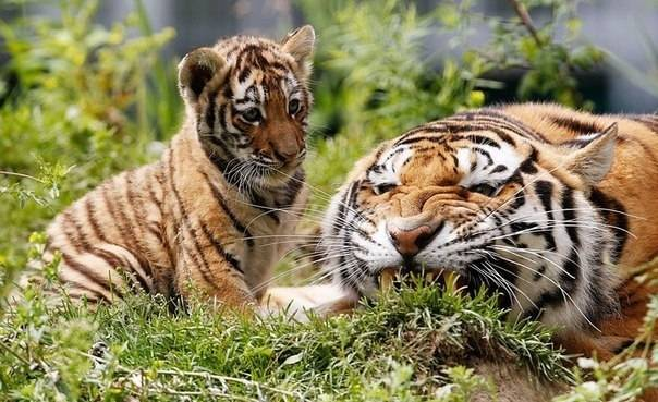 Амурский тигр сколько их осталось