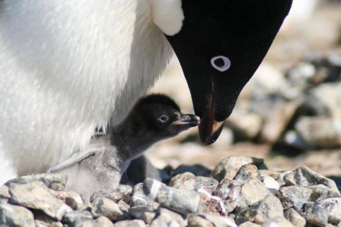 К кому относятся пингвины