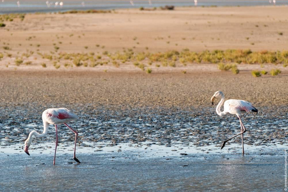 Родина фламинго