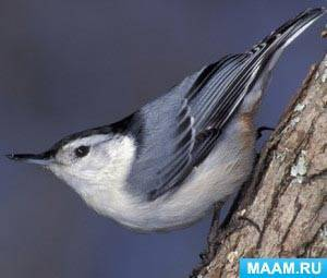 Перелетные птицы названия для детей картинки