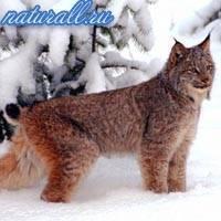 Рысь информация о животном