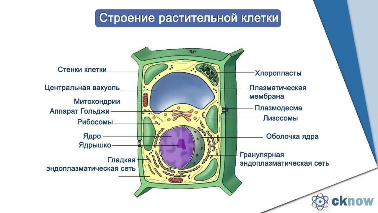 Где расположены органоиды клетки