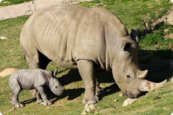 Из чего состоит рог носорога