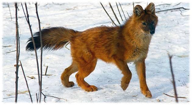 Красный волк картинки