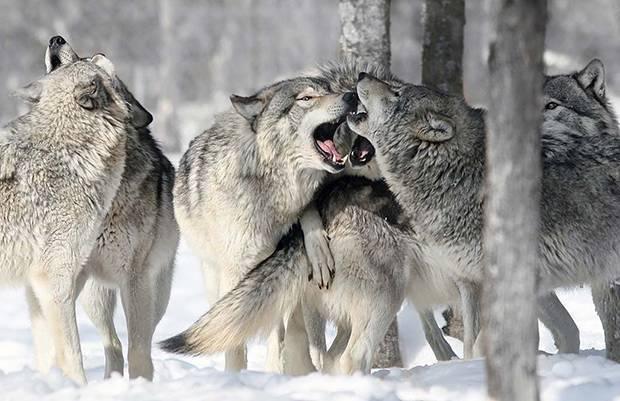 На каком материке обитает волк