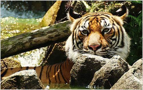Южно китайский тигр