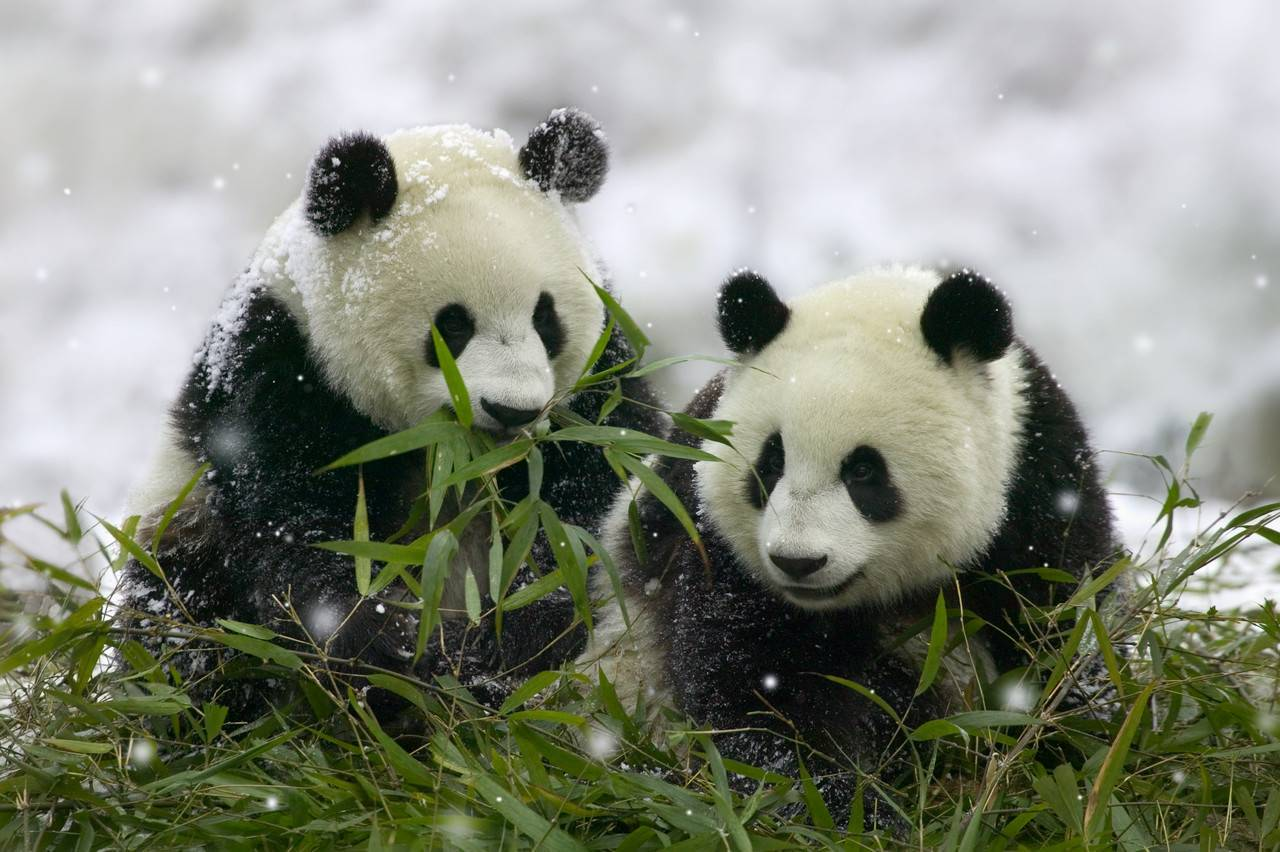 Giant Panda Cubs in Snowfall