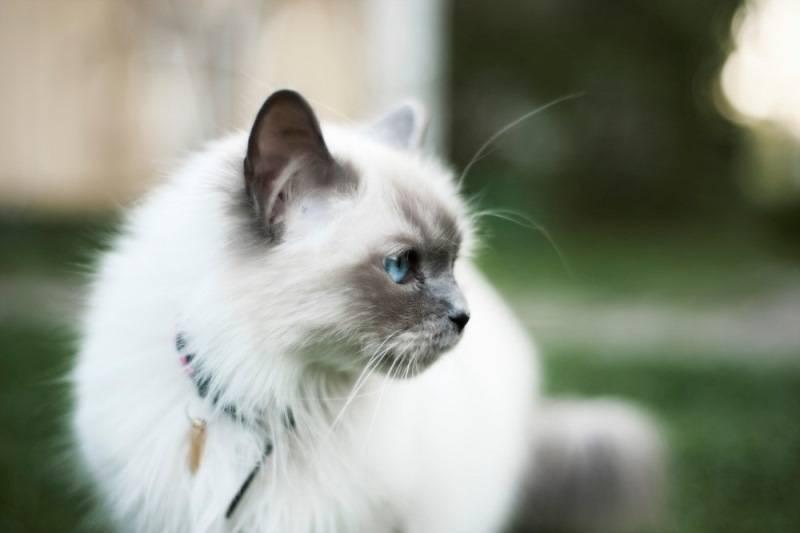 Кошки породы бирма