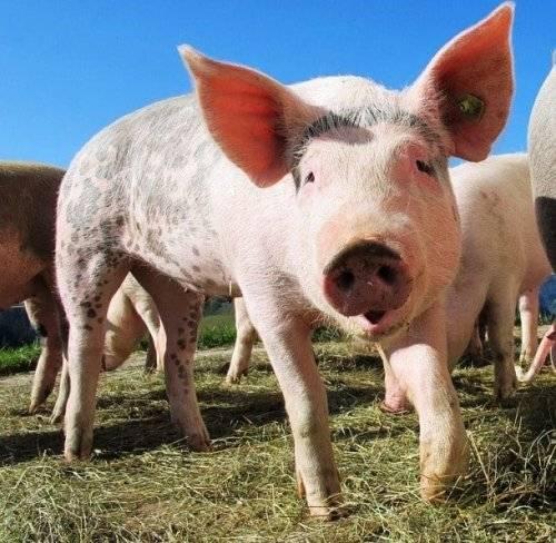 Свиньи умные животные