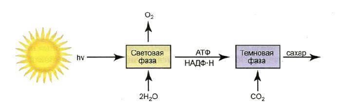 Описание фотосинтеза