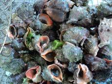 Названия моллюсков по алфавиту