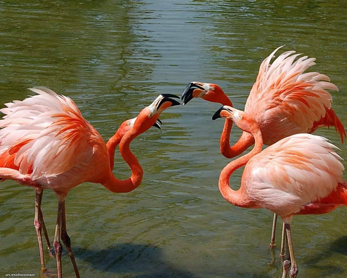 Место обитания фламинго