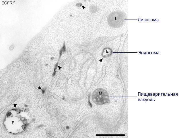 Схема строения лизосомы
