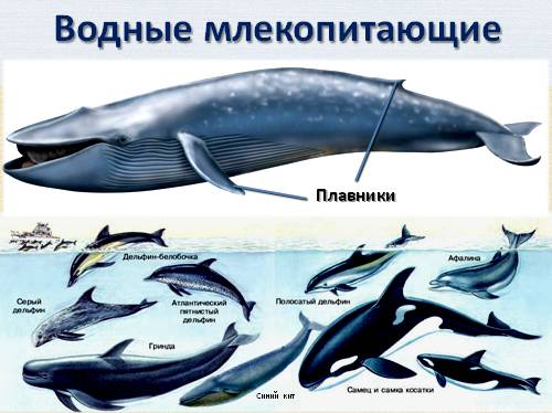 Классификация млекопитающих схема