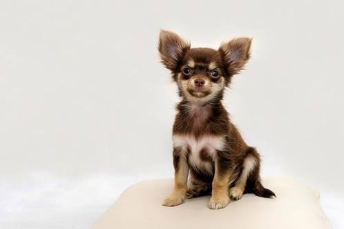 Маленькая китайская собачка