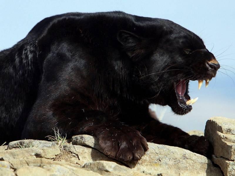 Что ест пантера