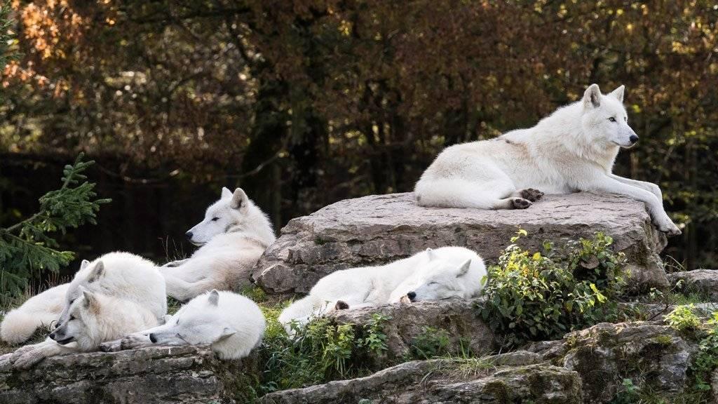 Полярный волк описание