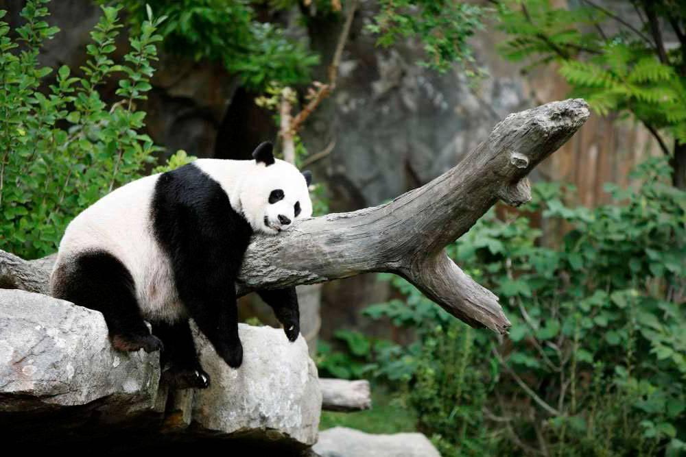 Где живёт панда материк
