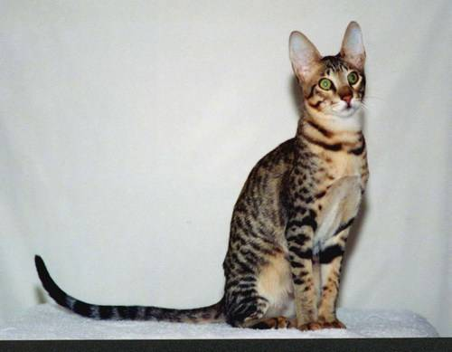 Котята леопарда фото