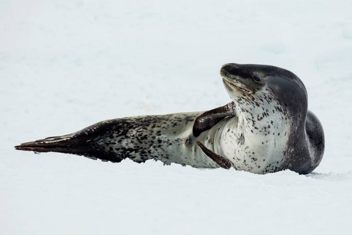 Морской леопард фото в антарктиде
