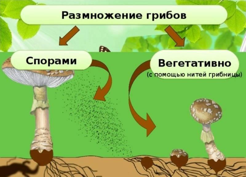 Путем почкования способны размножаться