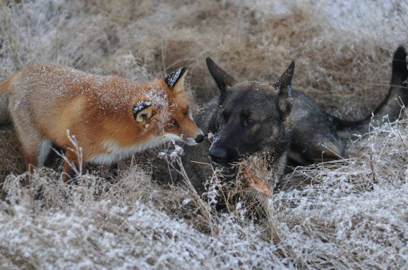 Кто может съесть лису