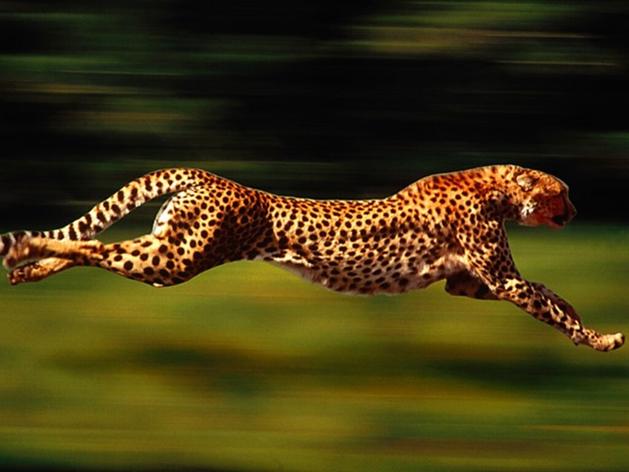 Кто быстрее страус или гепард